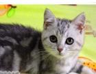 美国短毛猫 幼猫 包疾病 美短 疫苗打全美国短毛猫
