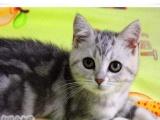 超可爱美短加白银虎斑 苏 格兰折耳猫 幼猫