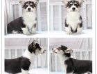 纯种威尔士柯基幼犬 超萌小短腿 三色两色均有