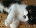 红虎斑加菲猫 异国短毛猫找新家