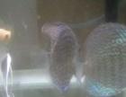 自养的蓝松石和红眼钻石欢迎鱼友打包