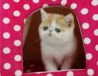 猫舍出售加菲 纯种健康 家养繁殖 可上门挑选
