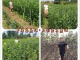 秦脆苹果苗种植怎么样苹果苗供应基地