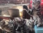家庭放养美国虎斑猫,非猫贩子 - 2000元