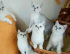 自家繁育纯种短毛猫活泼健康 已做疫苗无病无蘚