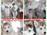 深圳直销精品阳光帅气哈士奇幼犬 品相漂亮 健康质量保证