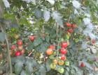 苏州大阳山游玩小番茄采摘