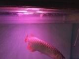 上海出35厘米千湖汤勺头紫艳红龙鱼