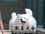 澳版萨摩耶雪橇犬 通体透白无水锈 无菌繁殖血缘清楚