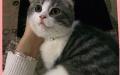 折耳猫领养宠物猫领养