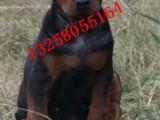 苏联红犬幼犬几个月立耳 纯种莱州红犬多少钱一只