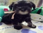 西安狗狗之家长期出售高品质 雪纳瑞 售后无忧