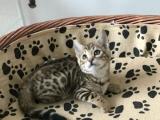 俩月豹猫弟弟妹妹1300 猫咪价格以标题价格为准
