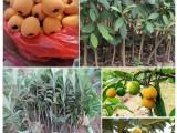 金華蘭溪市枇杷苗供應服務