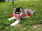 阿拉斯加幼犬 纯种养殖 包健康 可签协议 全国包邮