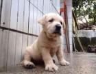 汕头哪里有卖拉布拉多 金平哪里有卖拉布拉多幼犬