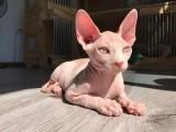 纯种蓝猫 蓝猫幼猫 包子脸蓝猫
