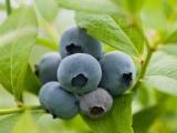 兔眼系列 蓝莓苗 南高丛蓝莓树苗 芭尔德温 晚熟品种 果树苗
