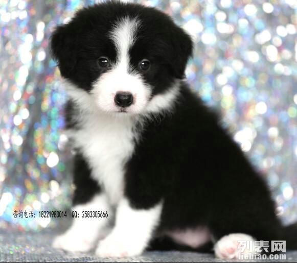 世界上**的边境牧羊犬白金汉宫血统的幼犬