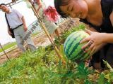 上海滴水湖周边农家乐推荐 采油桃小番茄 摘西瓜葡萄 钓鱼烧烤