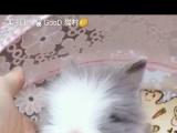 出售垂耳兔,道奇侏儒兔,道奇盖脸猫猫兔,宠物兔