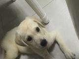 家养绝美纯种拉布拉多母犬3个月低价转给有缘人