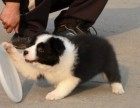 兰州犬舍出售精品边境牧羊犬一血统纯正一纯种健康