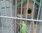 吴川 虎皮鹦鹉 繁殖期种鸟