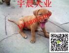 纯种两个月的比特犬多少钱一只小比特犬幼犬价格图片