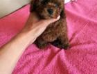 保定纯种泰迪价格,保定哪里能买到纯种泰迪犬