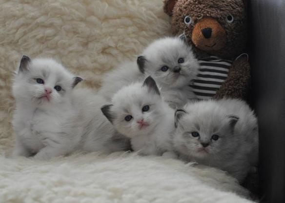 本地猫舍出售 布偶猫 加菲猫 蓝白 蓝猫 银渐层 金吉拉