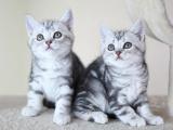 美短加白猫幼崽猫舍特惠