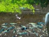 出售水晶虾蓝金钢