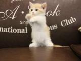 杭州布偶貓出售 自家繁育純種 品相好 高貴優雅