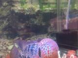重金属帝王马骝拉线双排花,短身