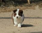 哪里有卖边境牧羊犬边牧多少钱边牧图片边牧幼犬