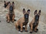 视频选狗,质量健康保证,精品双血统小马犬,价格优惠