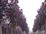红叶杨种植 红叶杨种植诚邀加盟