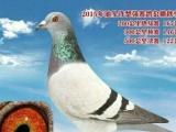 出售两只潮南区俱乐部17春季决赛鸽。