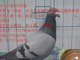 长期出售公棚鸽,特比鸽,本润广东潮州,店在潮州,欢迎批发