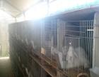 獭兔价格常年供应肉兔