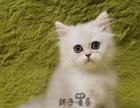 纯种金吉拉猫 品相上等 身体健壮 健康 保证