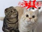 猫舍火爆出售纯种英国短毛猫当天包邮包纯种健康