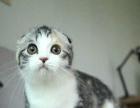 折耳猫mimi