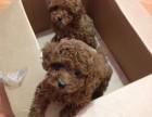 纯种泰迪幼犬 视频看狗 送狗上门-可签协议