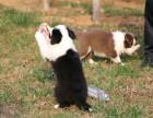 纯种七白到位通膊通缝高智商边境牧羊犬 忠诚聪明