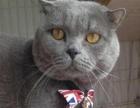 家养纯种英短蓝猫生的宝宝不是猫贩子 单纯喜欢养猫 高品质