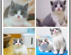 珠海正规猫舍 专业繁殖英短蓝猫 美短猫 渐层猫 加菲 布偶等