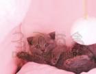 临渭区纯种英短蓝猫蓝白 无病无癣 铜眼 粉鼻