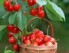 赞皇樱桃采摘 鲍家滩樱桃采摘 石家庄樱桃采摘 满山红樱桃园